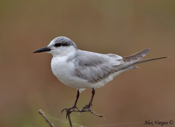 Whiskered Tern - molting by Alex Vargas
