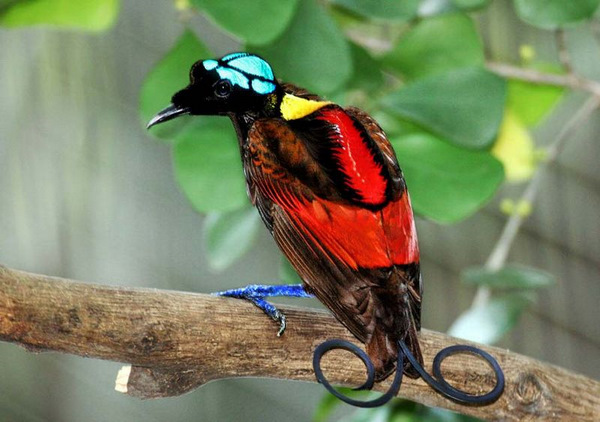 Wilson's Bird-of-Paradise Wikipedia Photo: Serhanoksay