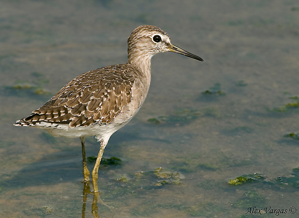 Wood Sandpiper - non breed by Alex Vargas