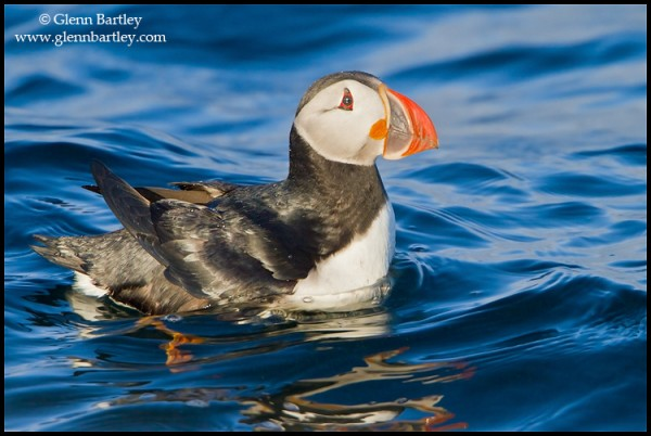 Atlantic Puffin (Fratercula arctica) swimming in the Atlantic Ocean off the coast of Newfoundland, Canada. Photo: Glenn Bartley