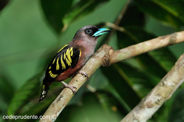 Banded Broadbill by Cede Prudente