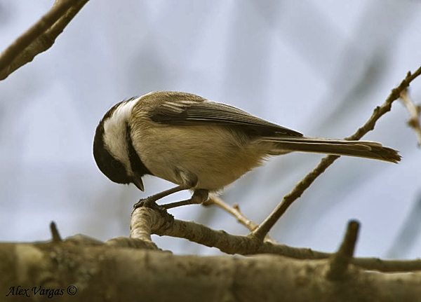 Black-capped Chicadee by Alex Vargas
