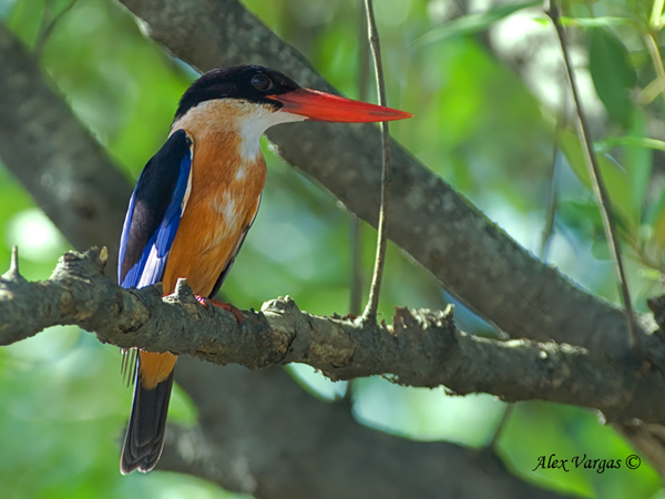 Black-capped Kingfisher - on green by Alex Vargas