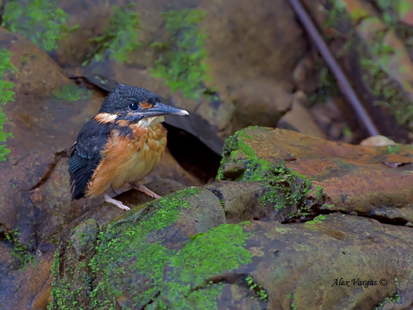 Blue-banded Kingfisher - chick by Alex Vargas