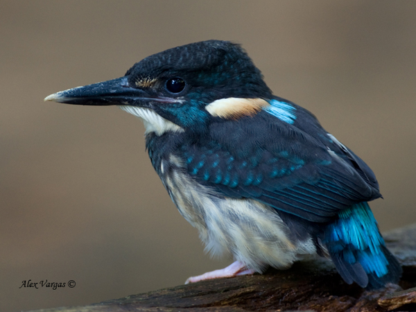Blue-banded Kingfisher - male by Alex Vargas