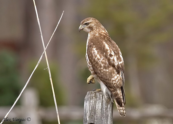 Broad-winged Hawk by Alex Vargas