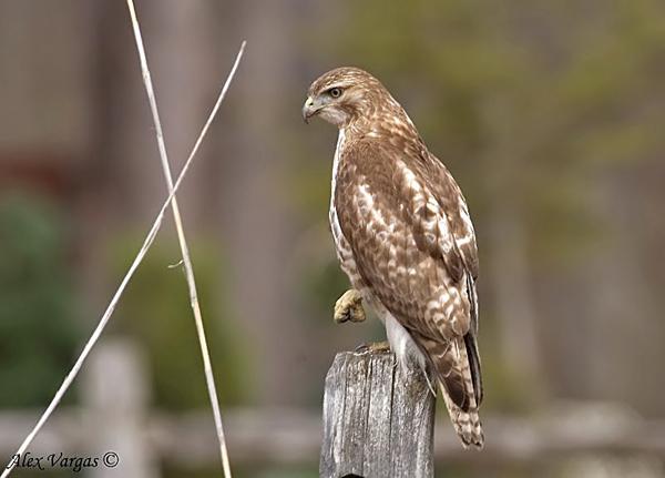 Broad-winged Hawk by Alex Vargas