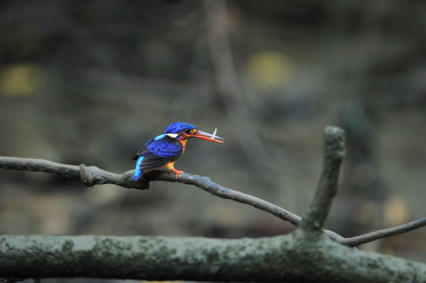 Blue-eared Kingfisher by Cede Prudente