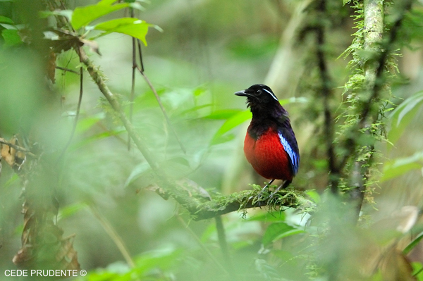 Black-and-Crimson Pitta by Cede Prudente