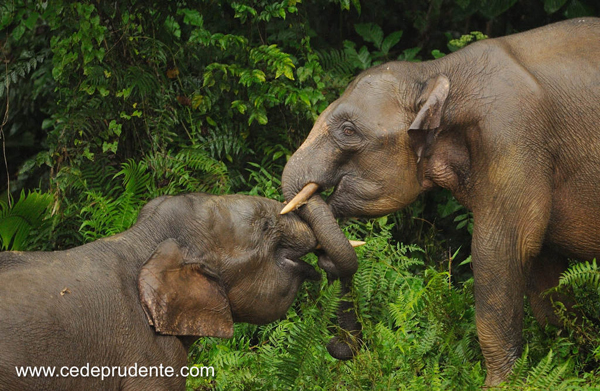Bornean Pygmy Elephant by Cede Prudente