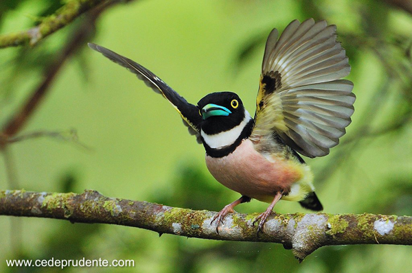 Black-and-Yellow Broadbill by Cede Prudente, Malaysian Borneo