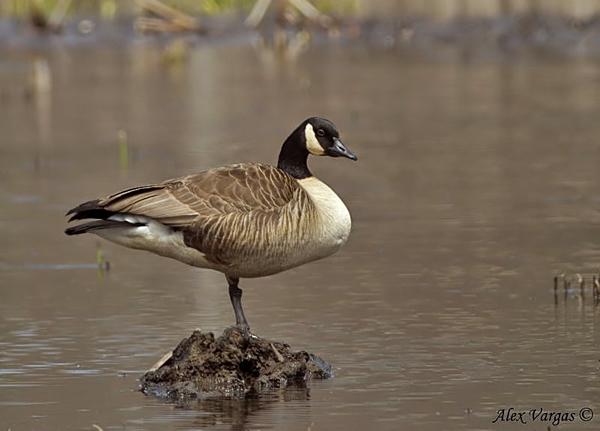 Canada Goose by Alex Vargas
