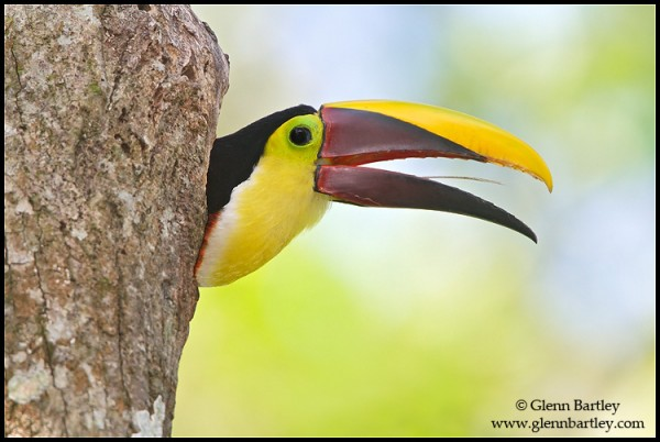 Chestnut-mandibled Toucan (Ramphastos swainsonii) perched on a branch in Costa Rica.