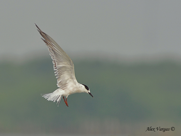 Common Tern - flight by Alex Vargas