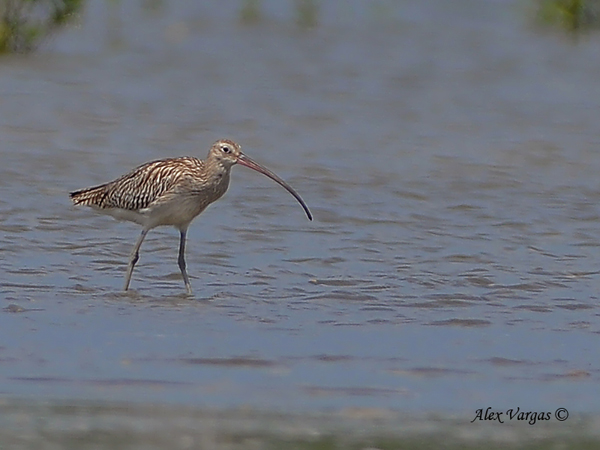 Eurasian Curlew by Alex Vargas