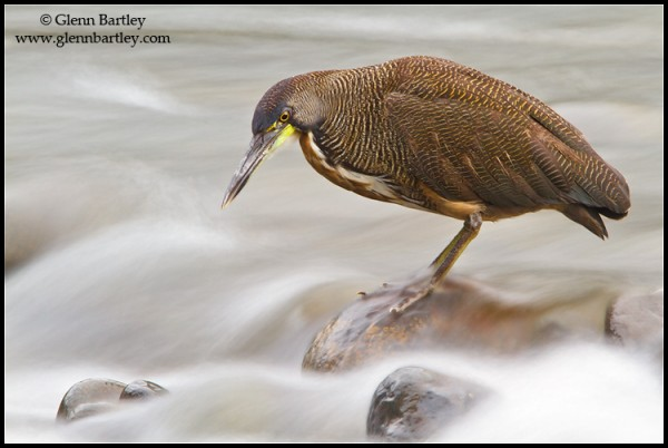 Bare-throated Tiger-Heron (Tigrisoma mexicanum) feeding along a stream in Costa Rica.