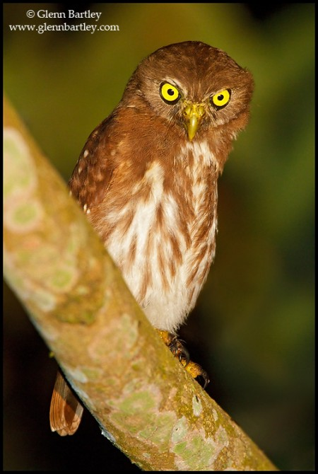 Ferruginous Pygmy-Owl (Glaucidium brasilianum) perched on a branch in Ecuador. Photo: Glenn Bartley