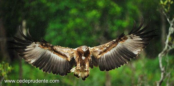 Fish-Eagle-juvenile by Cede Prudente, Malaysian Borneo