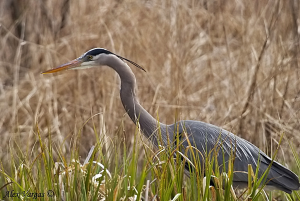 Great Blue Heron 2 by Alex Vargas