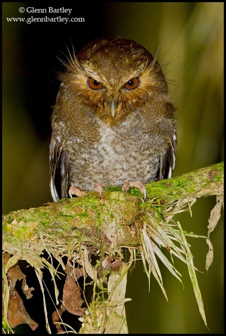 Long-whiskered Owlet (Xenoglaux loweryi) at Abra Patricia area of northern Peru. Photo: Glenn Bartley