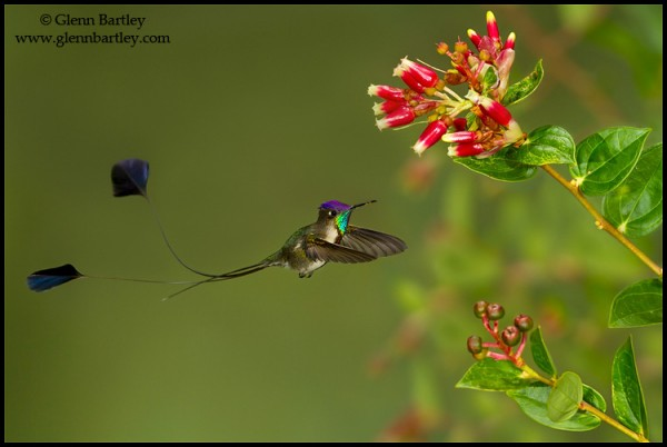 Marvelous Spatuletail (Loddigesia mirabilis) flying while feeding at a flower in Peru. Photo: Glenn Bartley