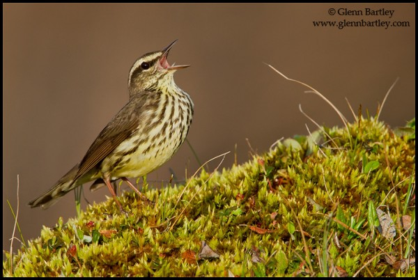 Northern Waterthrush (Seiurus noveboracensis) perched on the ground in Churchill, Manitoba, Canada.