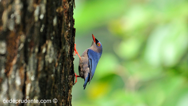 Velvet-fronted Nuthatch by Cede Prudente
