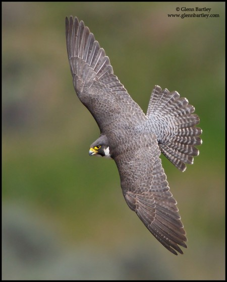 Peregrine Falcon (Falco peregrinus) flying in the interior of British Columbia, Canada.