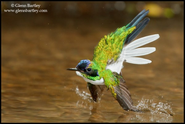 Purple-crowned Fairy (Heliothryx barroti) flying and bathing in a small stream in Costa Rica. Photo: Glenn Bartley