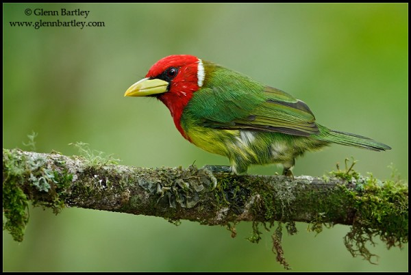 Red-headed Barbet (Eubucco bourcierii) perched on a branch in Ecuador. Photo: Glenn Bartley