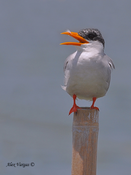 River Tern - profile by Alex Vargas