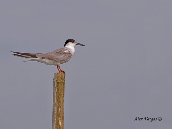 Roseate Tern - 2 by Alex Vargas