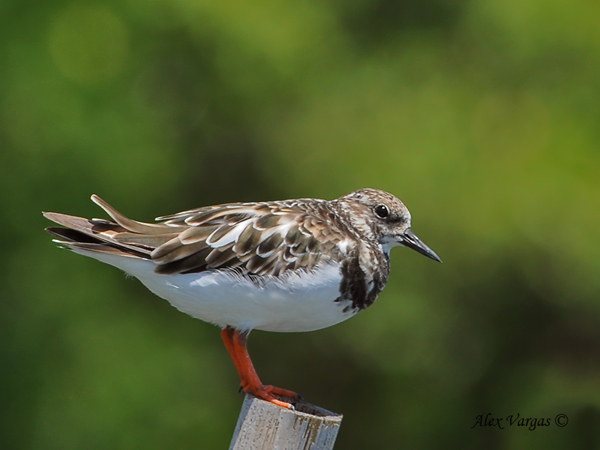 Ruddy Turnstone - non breed by Alex Vargas