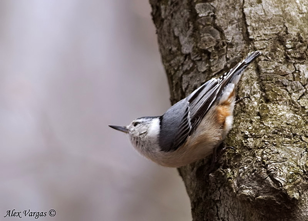 White-breasted Nuthatch by Alex Vargas