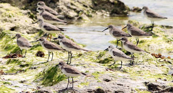 Post image for Zanzibar Shorebird Quiz