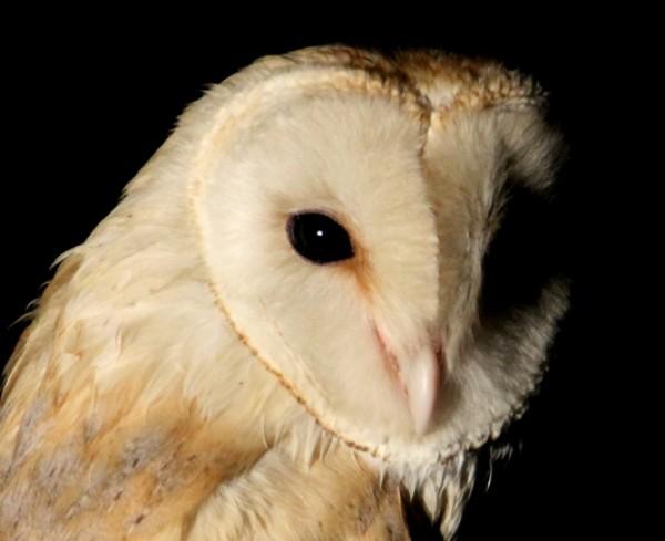 Barn Owl by Shah Jahan