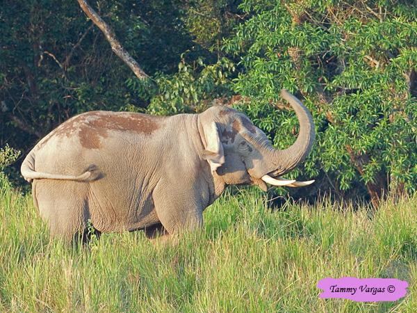 Elephant - on roadside by Tamara Vargas