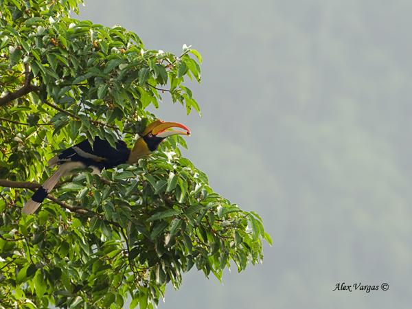 Great Hornbill - female by Alex Vargas
