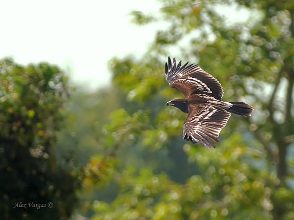 Greater Spotted Eagle - flight by Alex Vargas