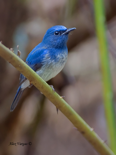 Hainan Blue-Flycatcher by Alex Vargas