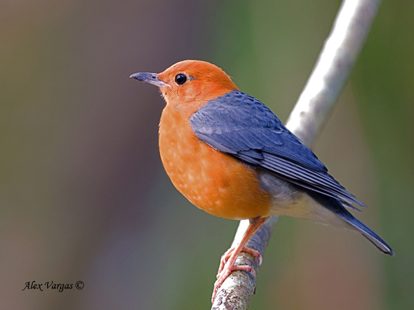 Orange-headed Thrush - male by Alex Vargas
