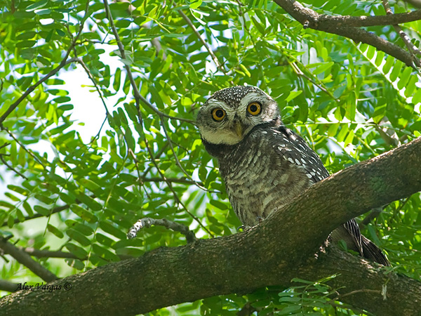 Spotted Owlet by Alex Vargas