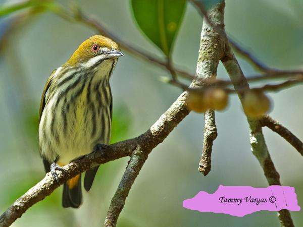 Yellow-vented Flowerpecker by Tamara Vargas