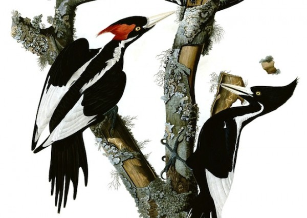 Ivory-billed Woodpecker. John James Audubon painting.