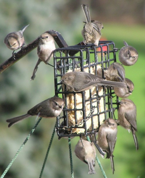 A flock of bushtits, Psaltriparus minimus, on a birdfeeder in Salem, Oregon. Image: Scott Catron