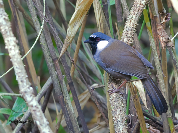 Black-throated Laughingthrush by Alex Vargas