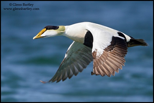 Common Eider. Glenn Bartley