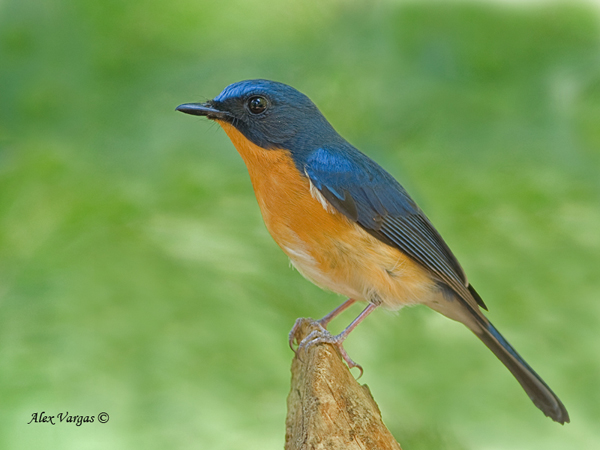 Hill Blue-Flycatcher by Alex Vargas