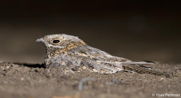Post image for Yoav Perlman joins BirdingBlogs.com