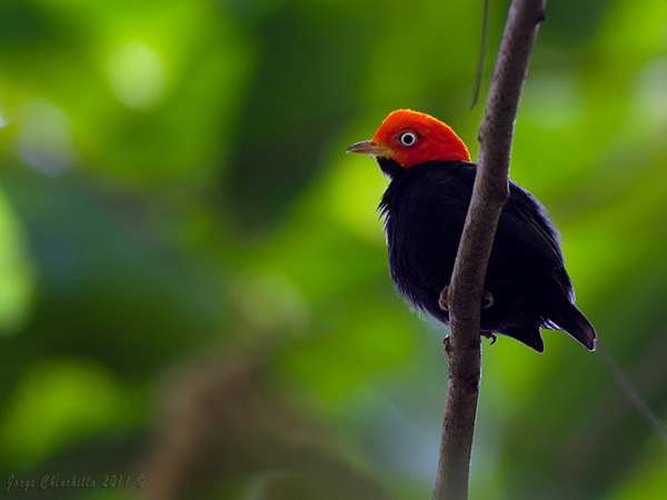 Red-capped Manakin - male by Jorge Chinchilla